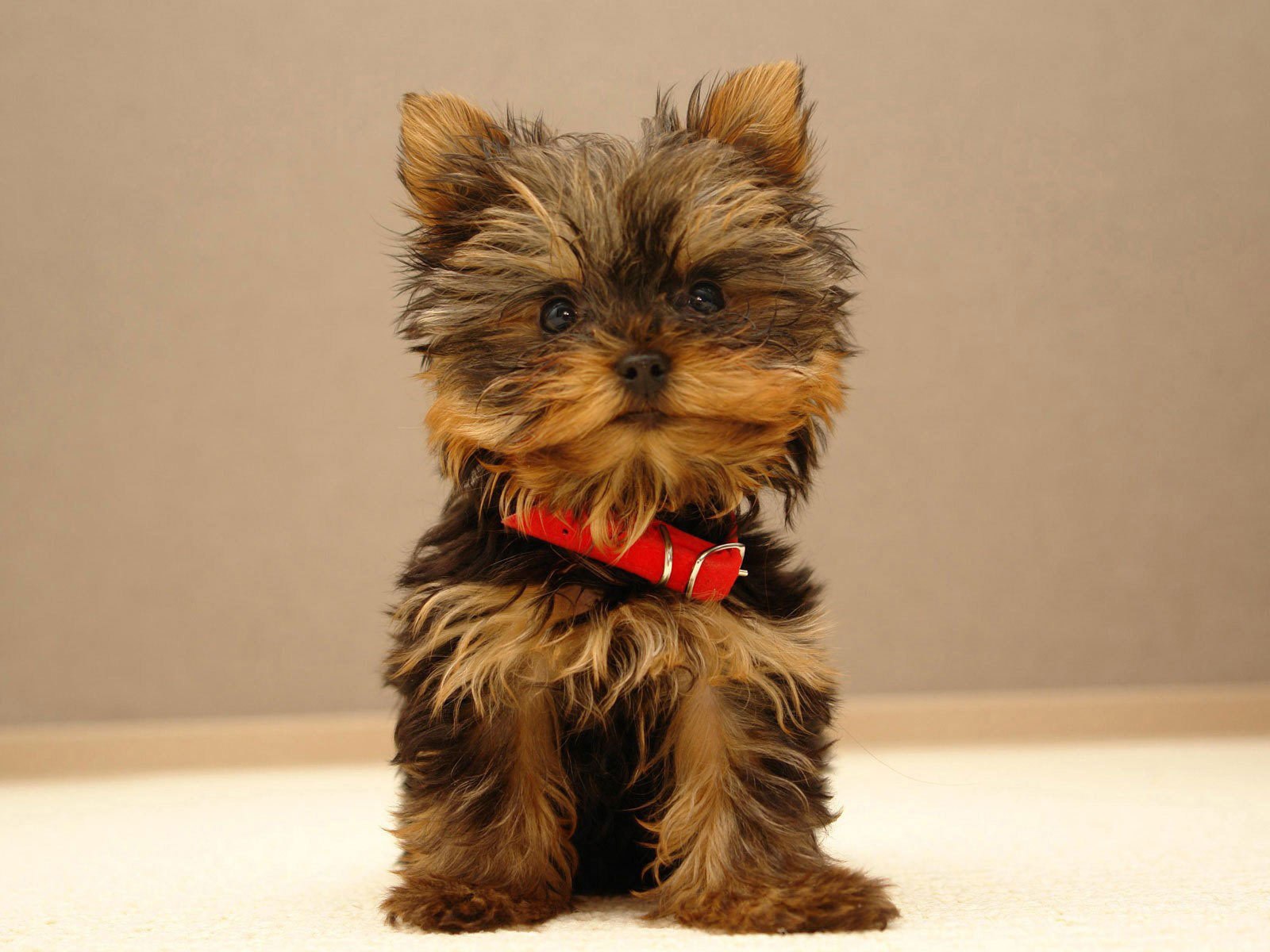 Yorkshire Terriers images The beautiful Yorkie HD ...