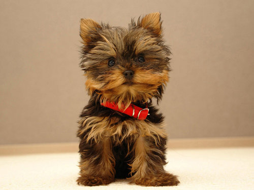 The beautiful Yorkie - yorkshire-terriers Wallpaper