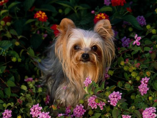 The beautiful Yorkie
