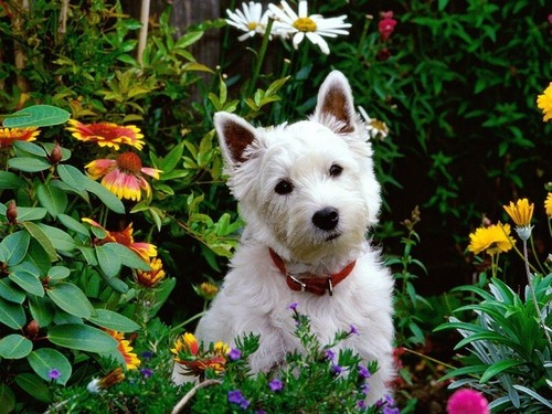 Dogs wallpaper called West Highland Terrier