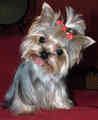 Yorkshire Terrier - yorkshire-terriers photo