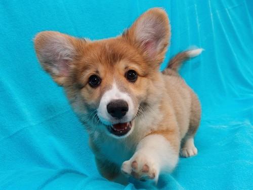 Anak Anjing kertas dinding called cute anjing, anak anjing
