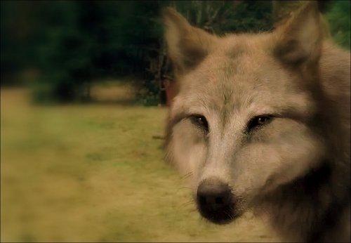 eclipse mga lobo - leah