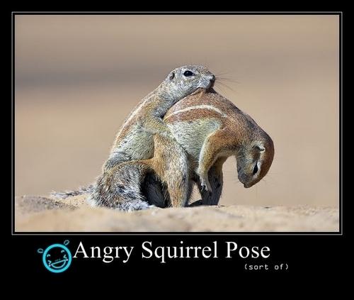 Angry con sóc, sóc Pose