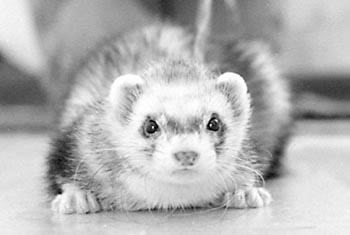 Black And White Cute Ferret - ferrets Photo