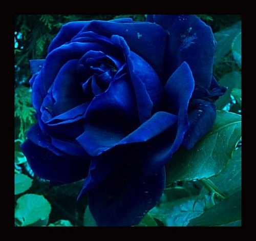 Anna blue images blue rose hd wallpaper and background - What are blue roses called ...