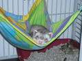 Cute ferret, chororo-kaya Sleeping In Hammock