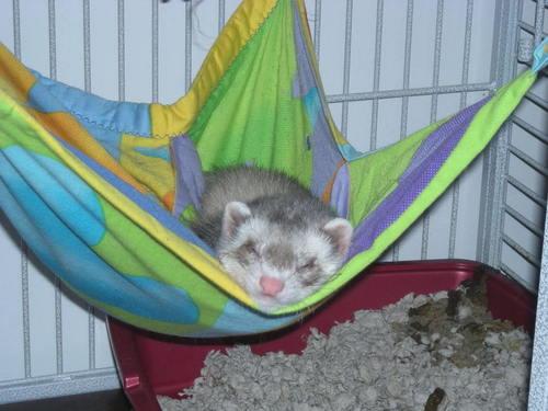 Cute ferret, chororo-kaya Sleeping In Hammock