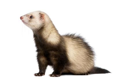 Cute ferret, chororo-kaya