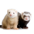 Cute Ferrets Together <3 - ferrets photo