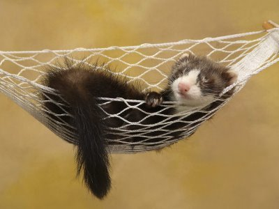 Ferrets karatasi la kupamba ukuta called Cute Sleeping ferret, chororo-kaya in A Hammock!