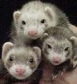 Ferret Bunch :) - ferrets photo