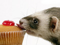 Ferret & Cupcake :P - ferrets photo