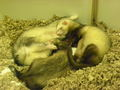 Ferret Pile! - ferrets photo