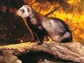 Ferret! - ferrets wallpaper