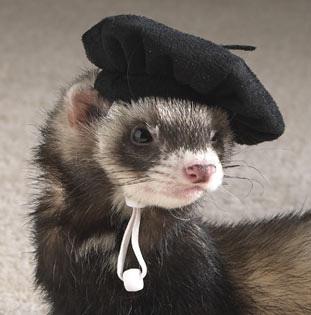 ferret, chororo-kaya in a beret XD