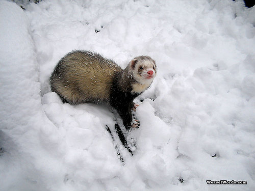 ferret, chororo-kaya in the Snow