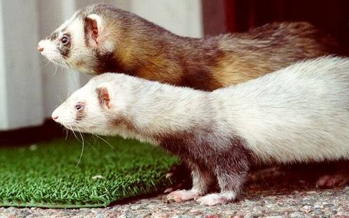 Ferrets Next to Each other - ferrets Photo
