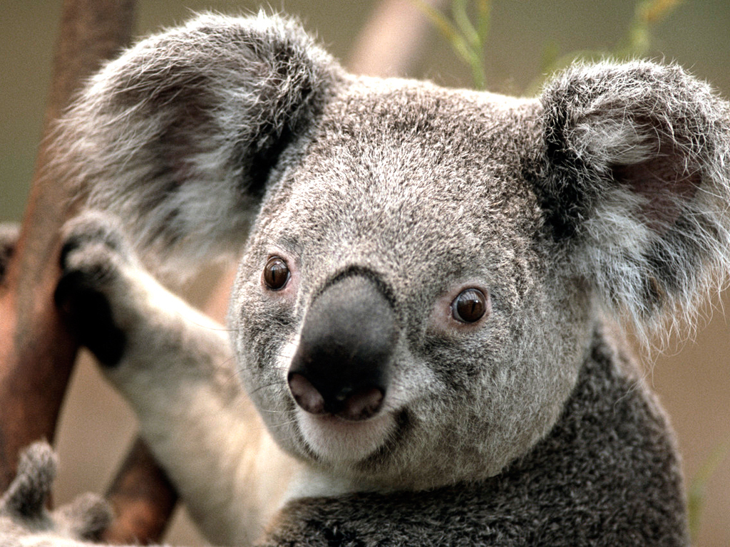 Animal Planet images Koala HD wallpaper and background photos ...