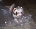 My ferret, ferret - ferrets photo