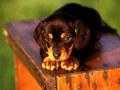 cachorro, filhote de cachorro Dog