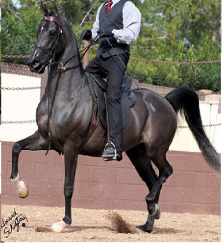 Saddleseat horse (country)