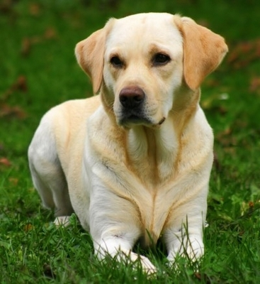 The Lovely Labrador