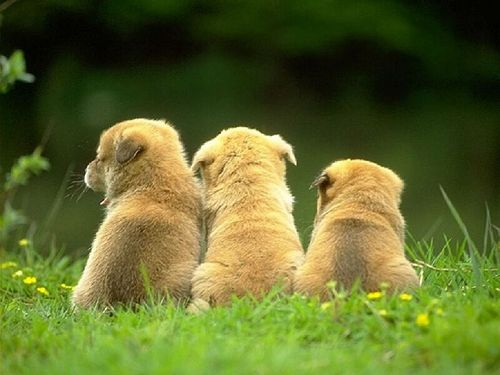Three Little Puppies - puppies Wallpaper