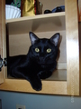 blackbear (my cat's name) - black-cats photo