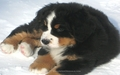 Bernese Mountain Dog anak anjing, anjing
