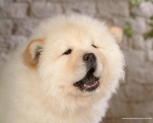 Chow Chow puppy achtergrond