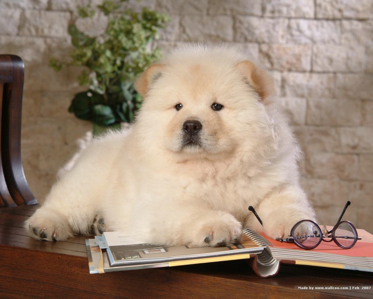 Chow chow puppy wallpaper puppies wallpaper 13936755 fanpop - Images of chow chow puppies ...
