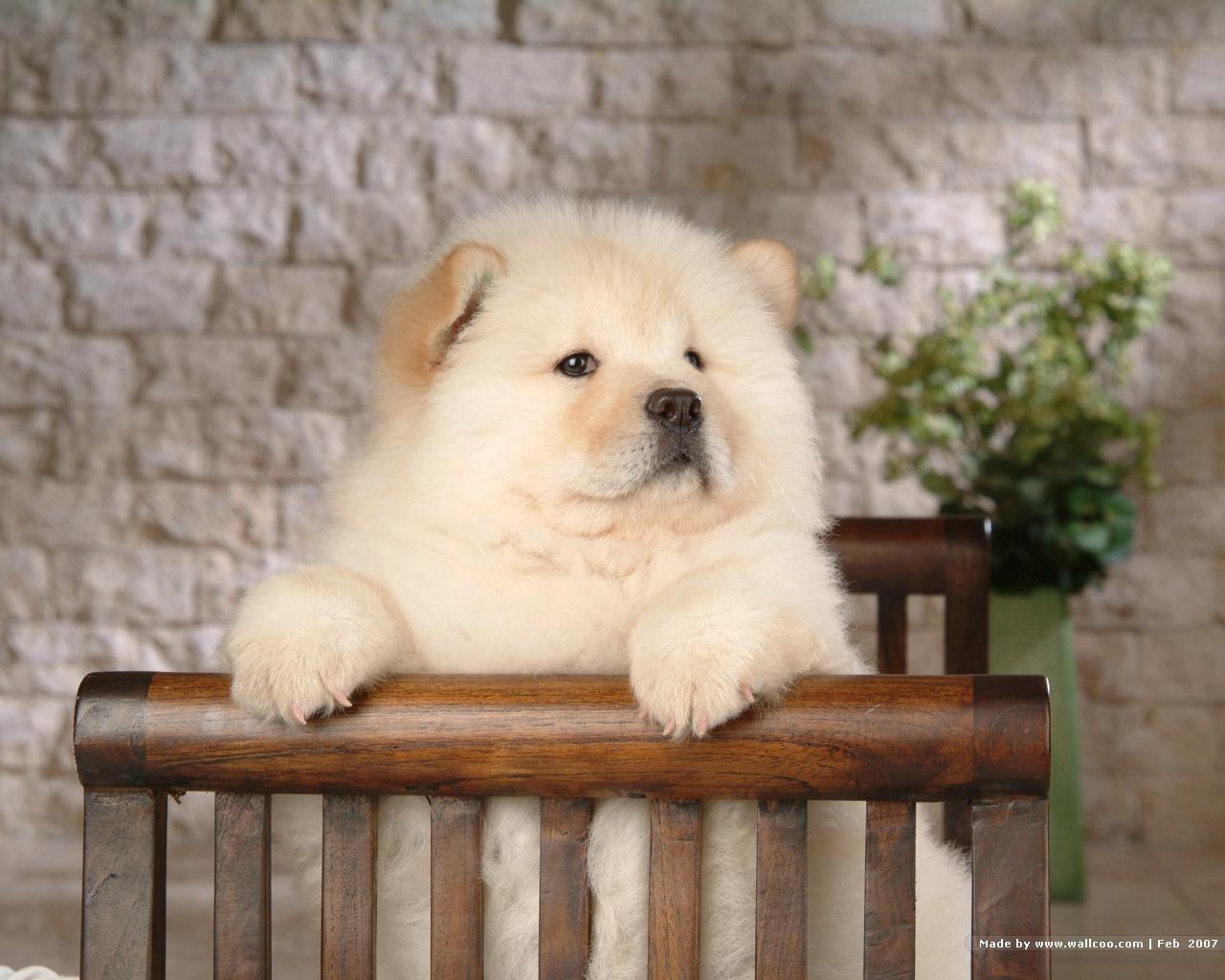Chow Chow Puppy Wallpaper - Puppies Wallpaper (13936761) - Fanpop ...