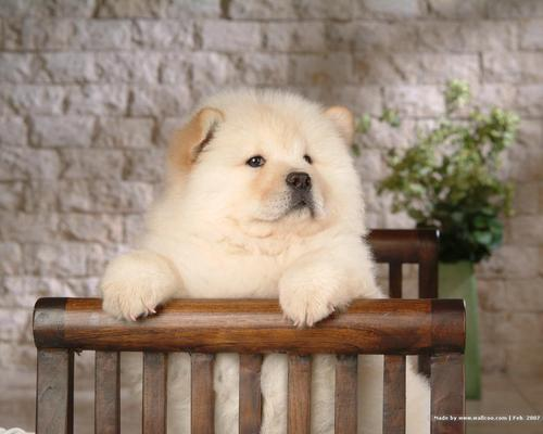 Puppies wallpaper titled Chow Chow Puppy Wallpaper