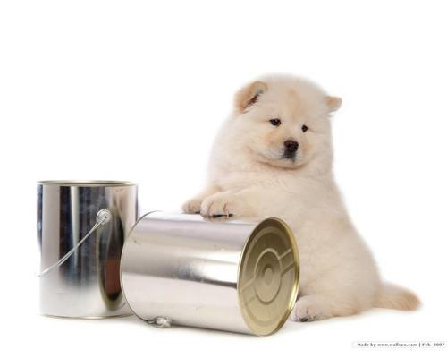 Chow Chow cachorro, filhote de cachorro wallpaper