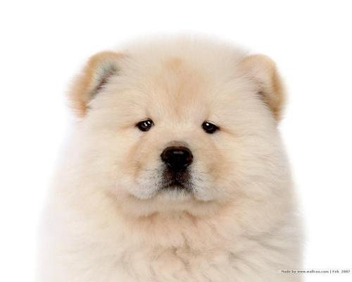 Puppies wallpaper entitled Chow Chow Puppy Wallpaper