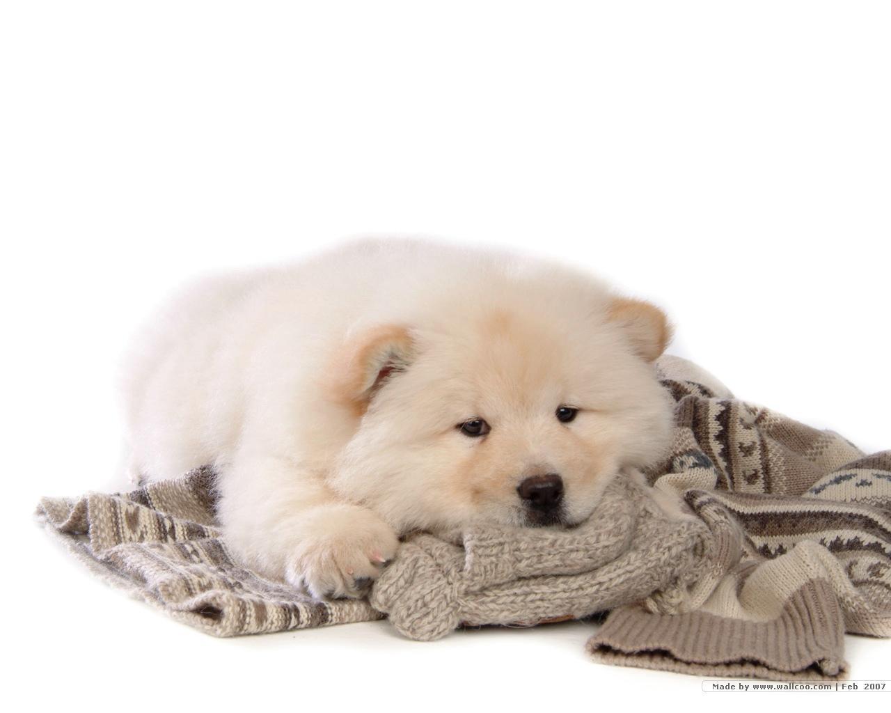 Chow Chow anjing, anak anjing kertas dinding