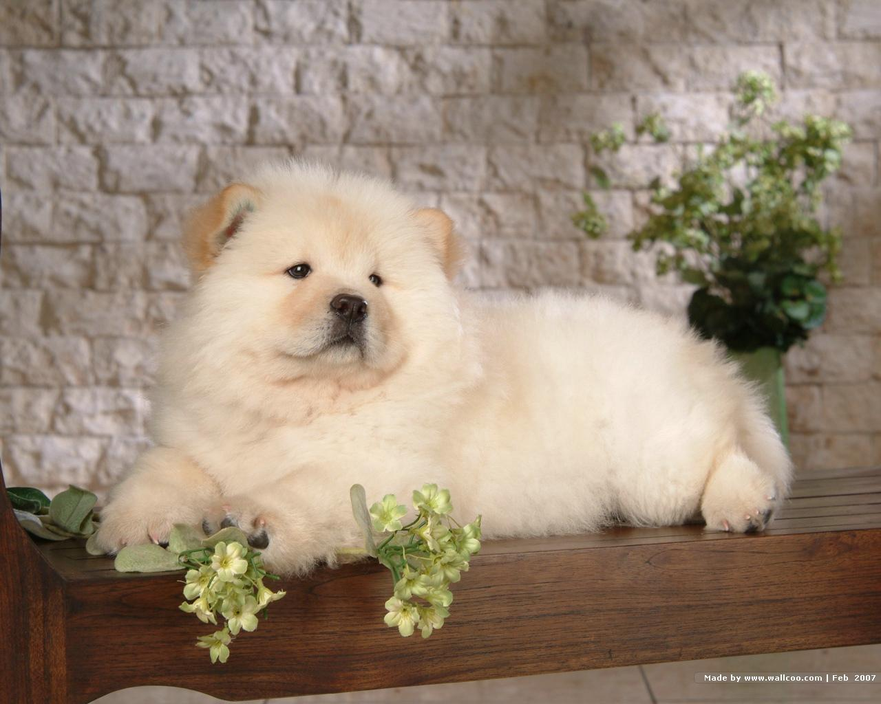 Chow Chow Puppy Wallpaper - Puppies Wallpaper (13936792) - Fanpop ...