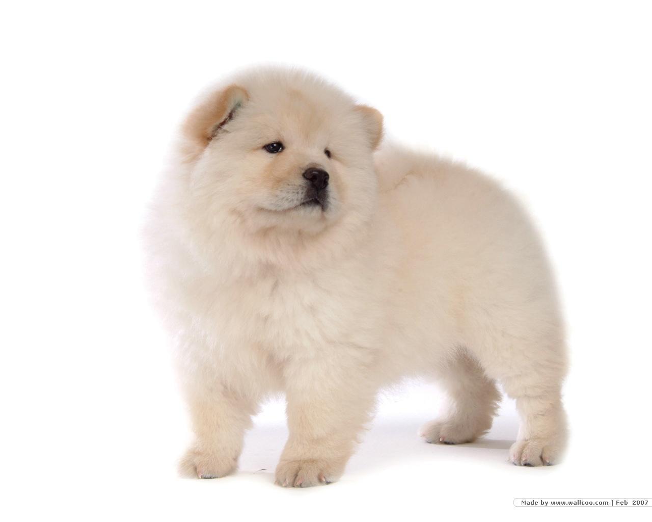 Chow Chow Puppy Wallpaper - Puppies Wallpaper (13936805) - Fanpop ...