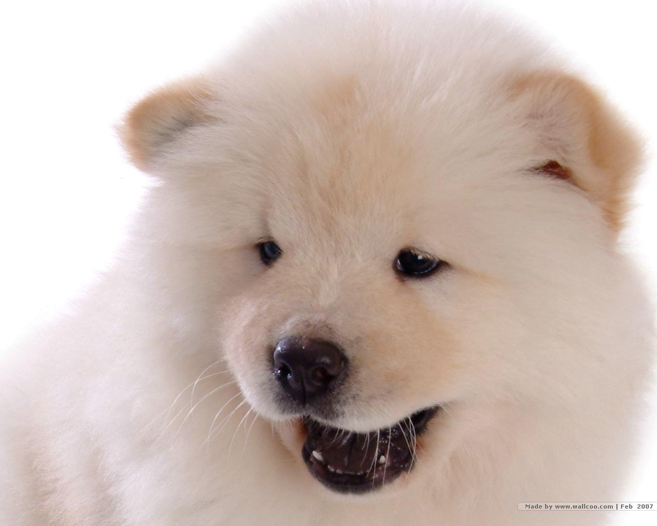 Pics Photos - Chow Chow Puppy Chow Chow Dogs Puppies