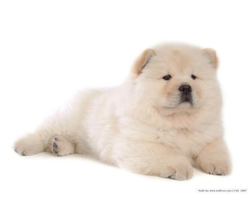 Chow Chow Wallpaper
