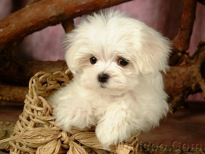 Cute puppies cuddly fluffy maltese puppy