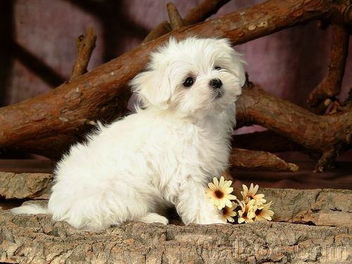 Cuddly Fluffy Maltese cachorro, filhote de cachorro