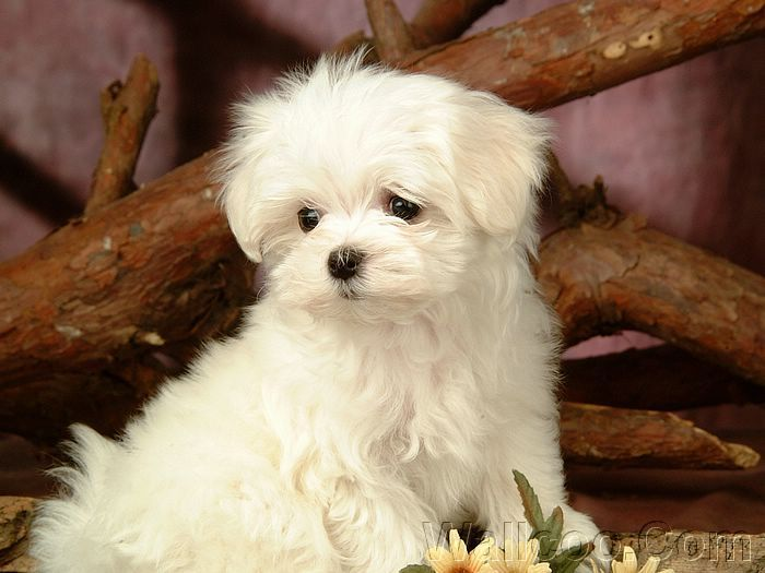 Cuddly Fluffy Maltese puppy