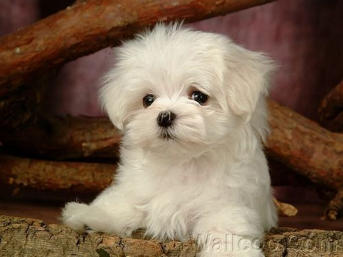 Cute Puppies achtergrond titled Cuddly Fluffy Maltese puppy