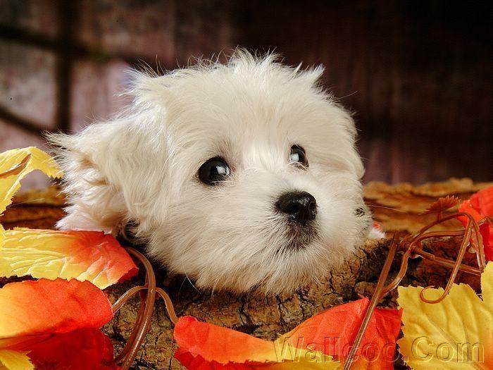 Cuddly Fluffy Maltese 강아지