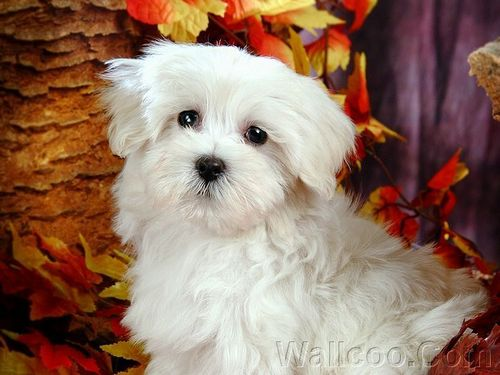 Cuddly Fluffy Maltese کتے