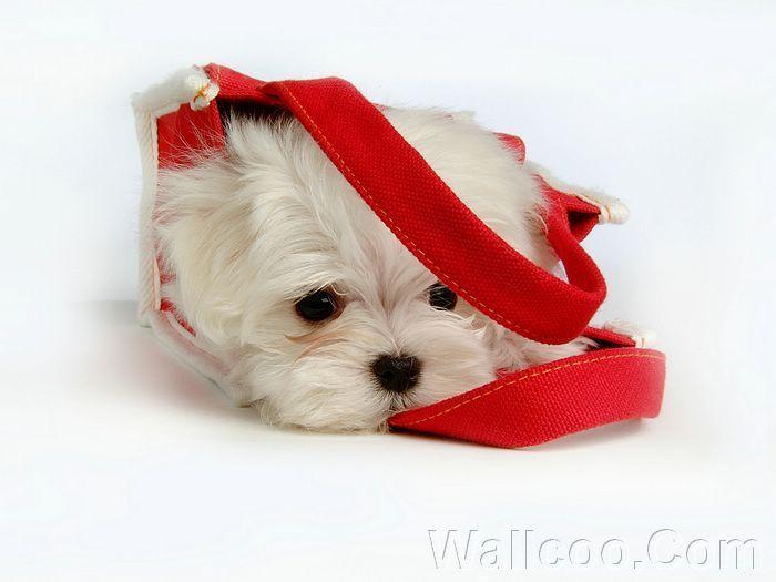 Cuddly Fluffy Maltese щенок