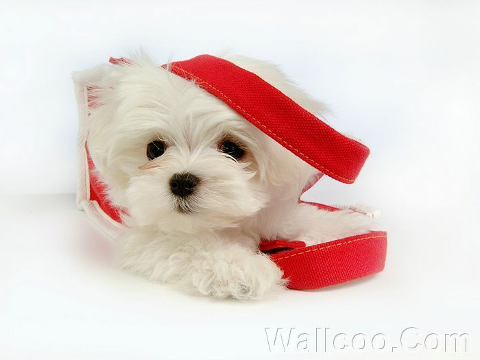 Cuddly Fluffy Maltese কুকুরছানা
