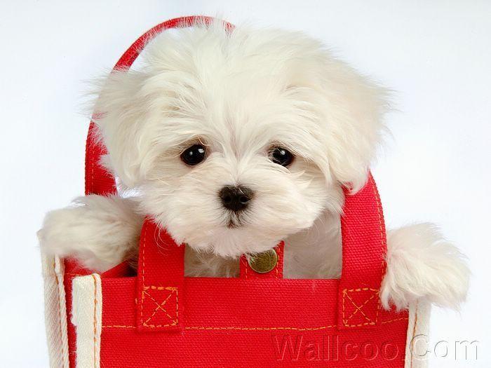Cuddly Fluffy Maltese Puppy - Cute Puppies Photo (13986044) - Fanpop ...